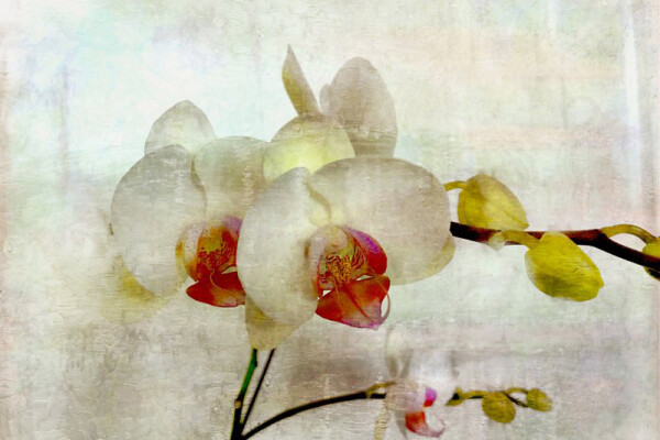 ECAG BB white orchid